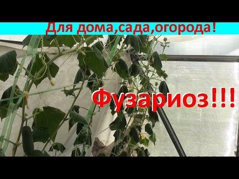 Смертельное увядание листьев огурцов!!!