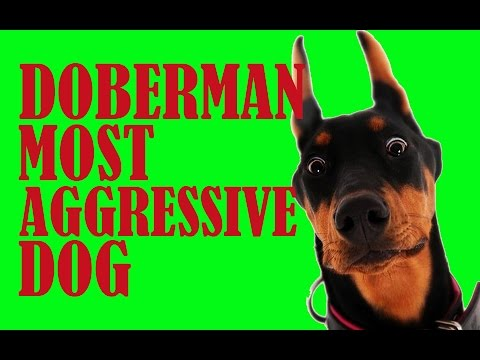 Doberman most aggressive dog - Funny doberman dog video