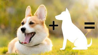10 Incredible mixed cross breeds of Corgi | Pembroke Welsh Corgi Mix Breeds