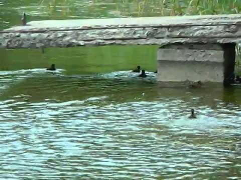 Little Ducks in Goryachiy Klyuch