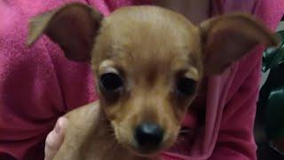 Самая маленькая собака в мире😱😱😱😱😱😱😱ШОК😮Подарили собаку😁😍🐕
