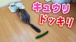 【検証#ドッキリ 】我が家の#猫 にキュウリが迫る。反応は?===========...