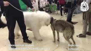 Южнорусская овчарка и пермский волкособ. Знакомство.