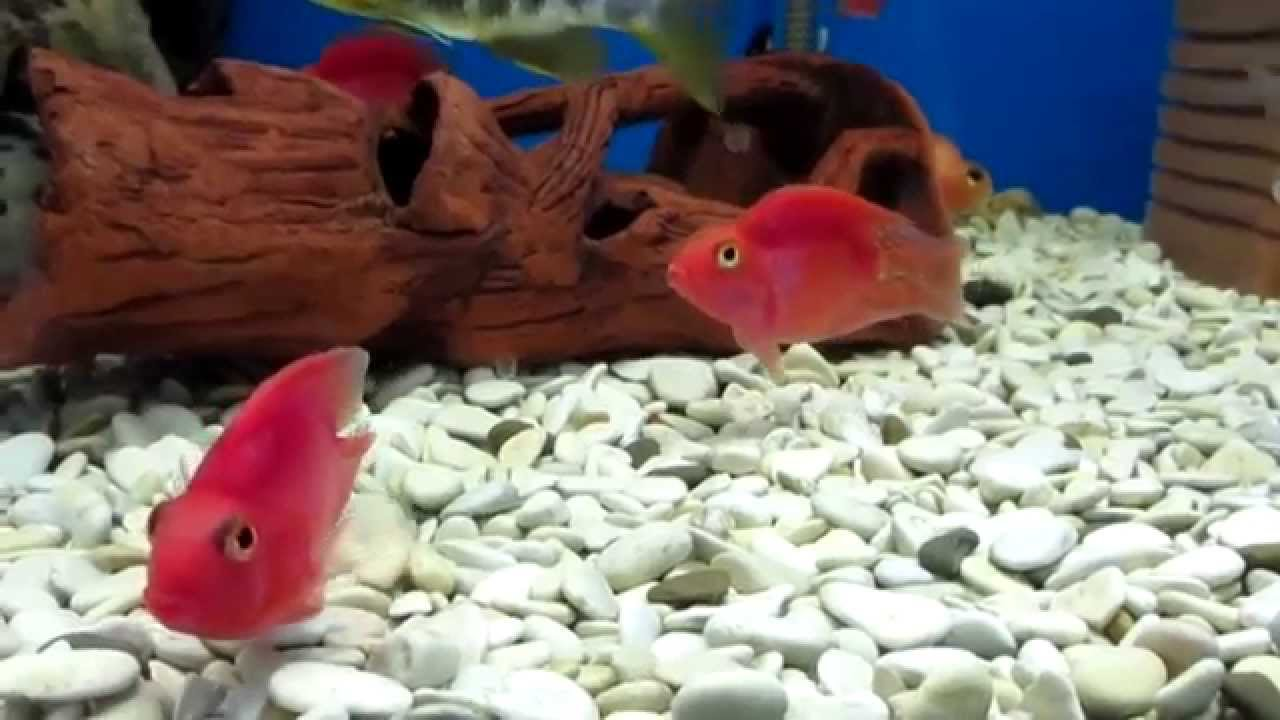 попугай рыбка фото