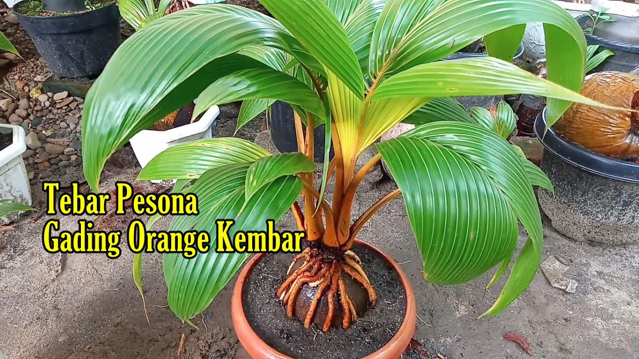 Bonsai Kelapa Kembar Gading Orange Tebar Pesona Hasil Ground