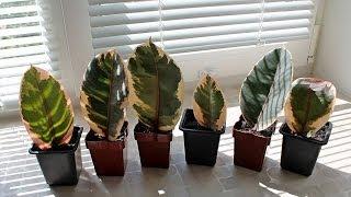 Фикус размножение / Фикус Белиз(Фикус размножение Фикус Белиз размножение листом. Ficus Belize c любовью к фикусам :) Пересадка, размножение, уход..., 2014-06-27T14:37:55.000Z)