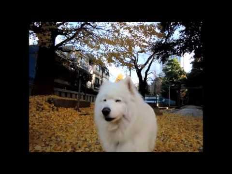 #15 『黄金のじゅうたん』 | サモエド クローカのモフモフ日記 | 犬といっしょ | アイリスペットどっとコム