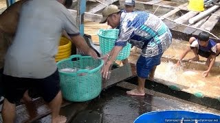 Fish Farming in Vietnam - Transported Live to Market
