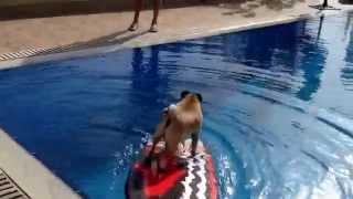 Pug Jumps Into Pool