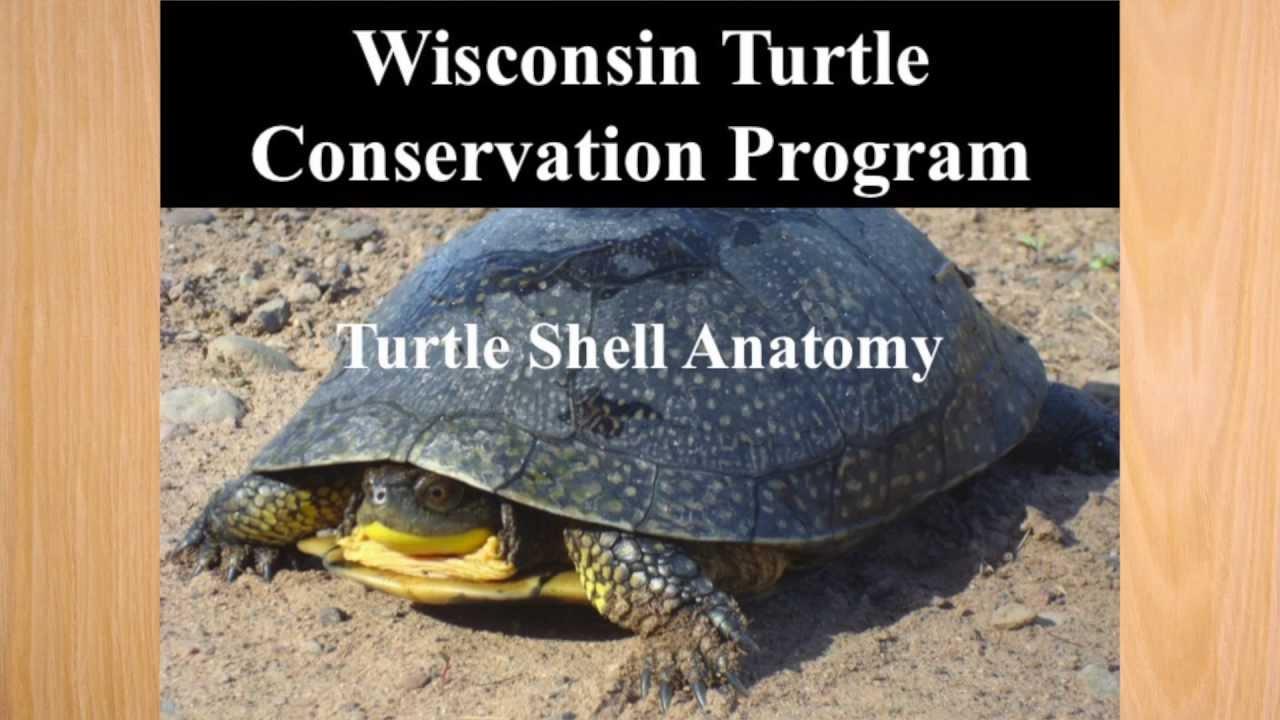 Turtle Shell Anatomy Youtube