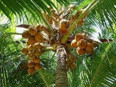 How farmers do pest controls on coconut crop