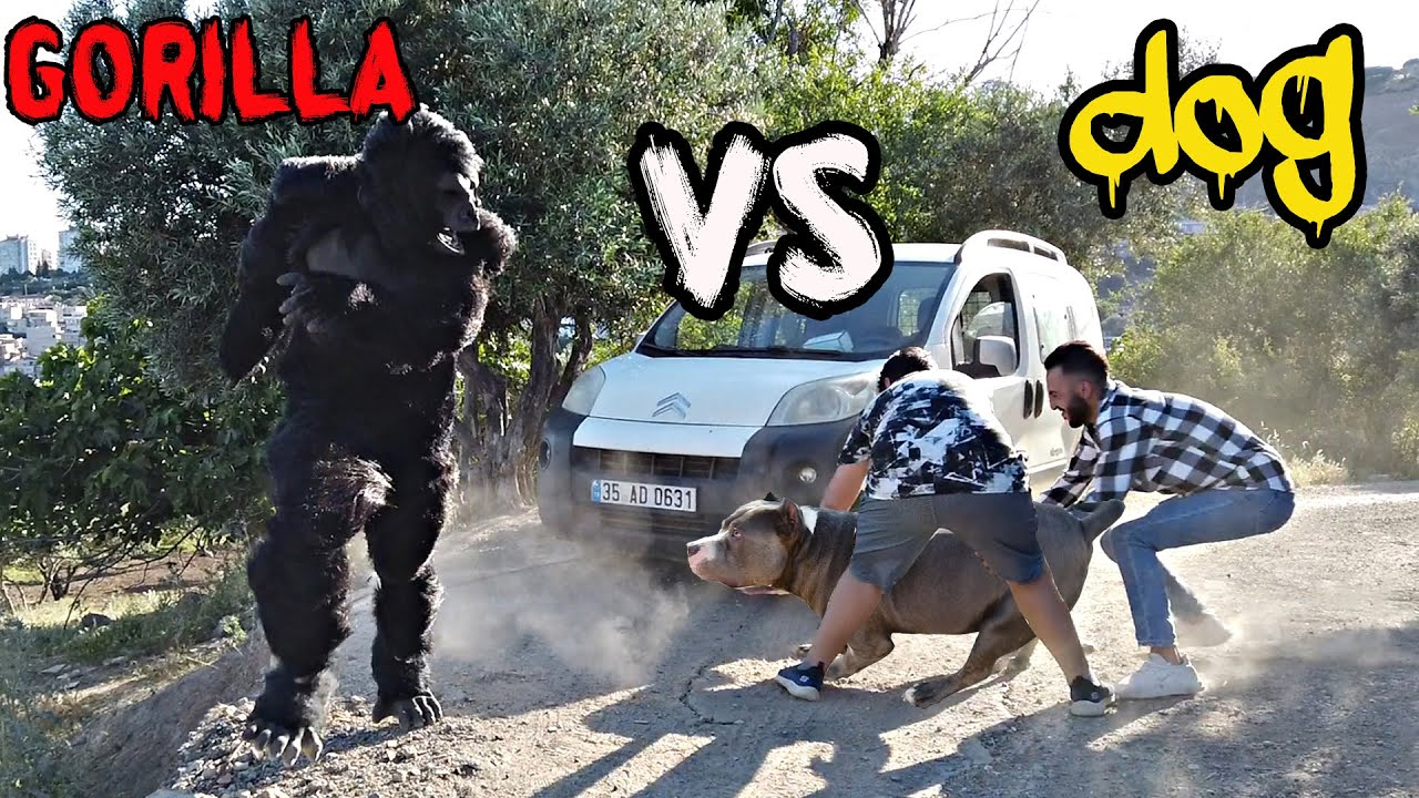 GORİLLA VS AMERİCAN BULLY XL