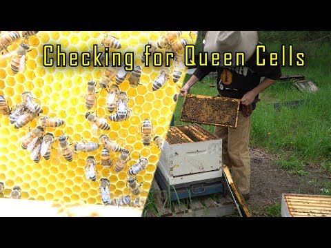 Searching for swarm cells (found none), First drops of honey - Scale Hives May 22