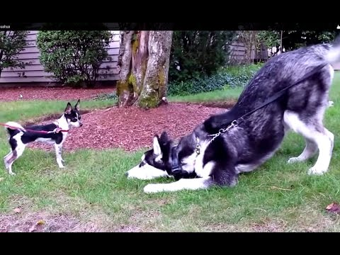 Funny Siberian Husky Puppy Standoff with 3 lbs Chihuahua