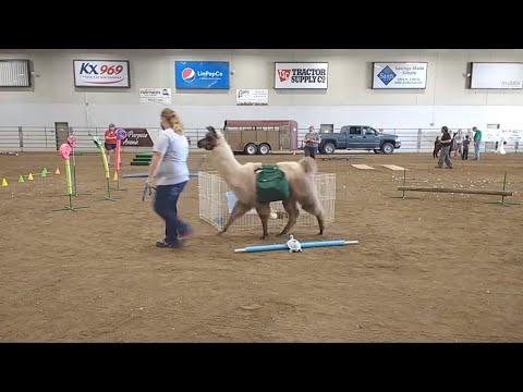 4-H Llama/Alpaca Show at 2020 Lancaster County Super Fair