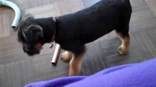 Border Terrier Puppy;  Piping Good Fun!!!!