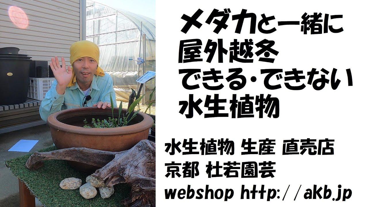 メダカと一緒に屋外越冬できる・できない水生植物
