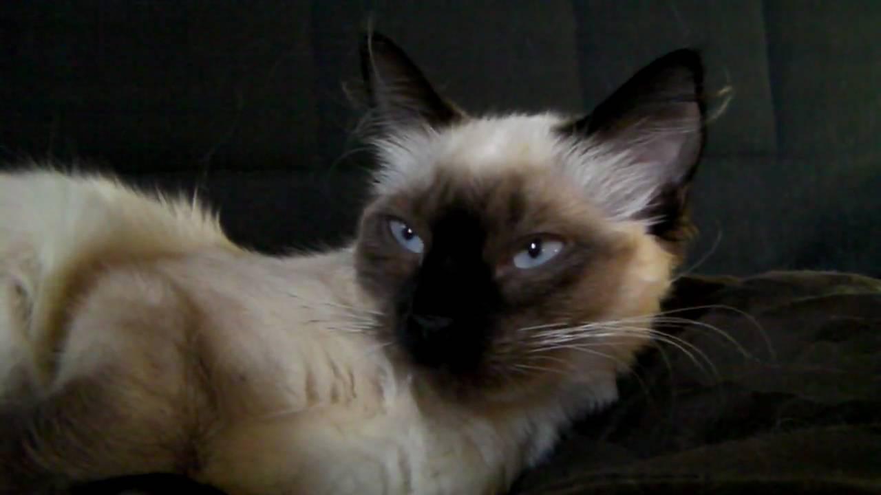 Ragdoll Or Siamese Ragdoll Siamese cat be...