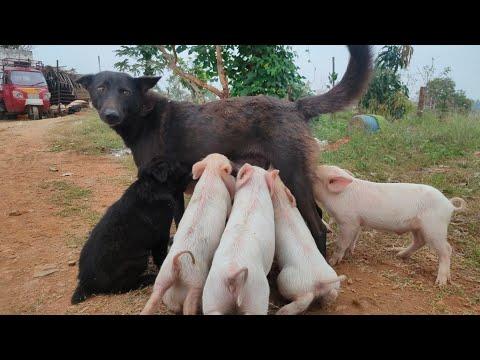 pig farm nagamangala baby pig feeding dog