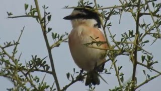 Video Masked shrike - חנקן נובי download MP3, 3GP, MP4, WEBM, AVI, FLV Juli 2018