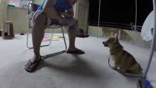 Foxy's Food Training! - Pembroke Welsh Corgi Puppy