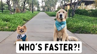 Dog races WHO'S FASTER? (Golden Retriever vs Pomeranian)