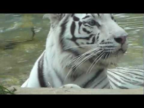 tigre de Bengala real tigre indio Panthera tigris tigris Bengal tiger animal