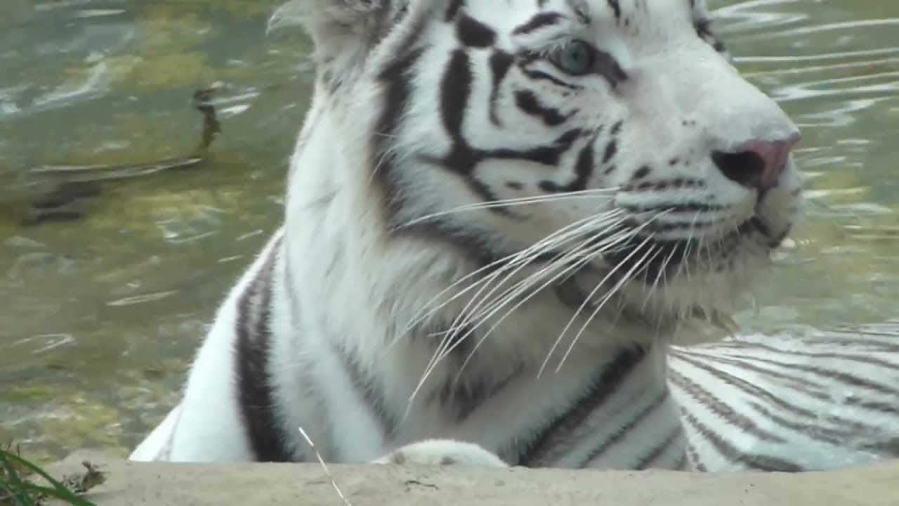 Tigre De Bengala Real Tigre Indio Panthera Tigris Tigris Bengal Tiger Animal Youtube
