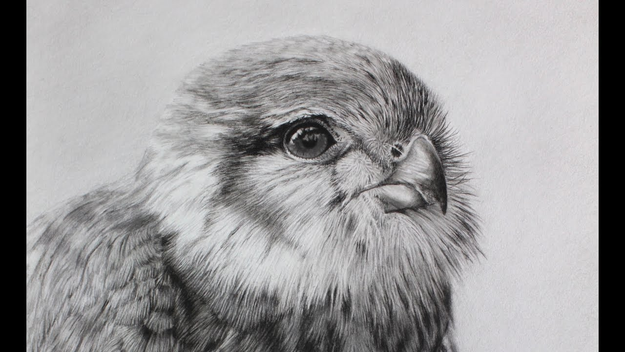 Photorealistic Drawing    Falcon Time-lapse Drawing