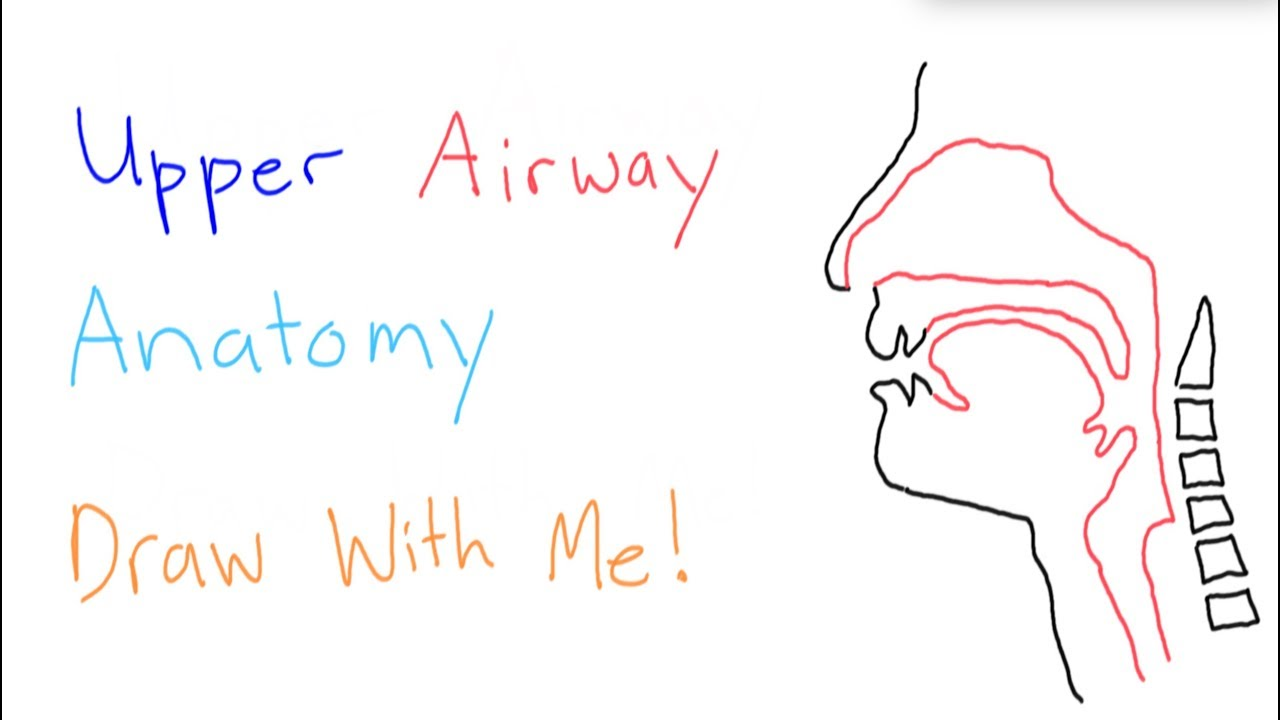 Basic Anatomy - Upper Airway - YouTube