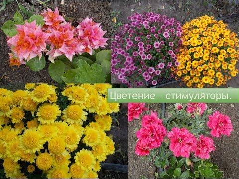 Цветение - стимуляторы, хризантема и другие цветущие.