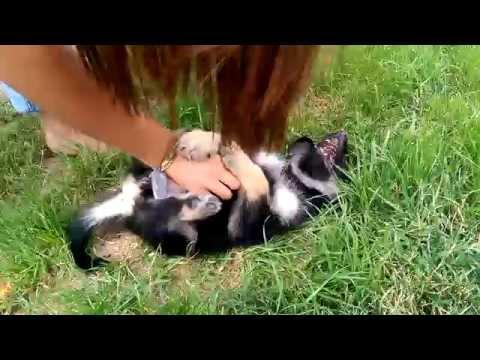 German Shepherd puppy has a tickle spot