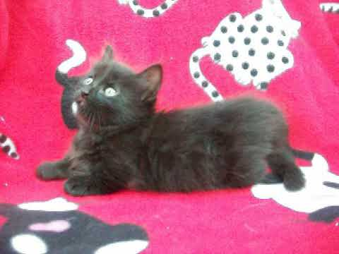 solid black Munchkin kitten Aug 13 2017