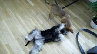 Miniature Schnauzer (11 Month) Playing With Jack Russel Mix  (6month)2