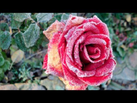 Мучнистая роса на розах и методы борьбы с ней
