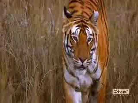 Animal Planet Tigers Videos Animal Planet's Tiger