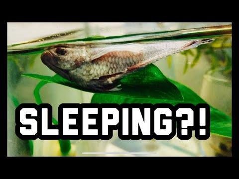 Do Betta Fish Sleep? When And Where?