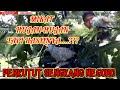 Pikat Perkutut Mikat Perkutut Lokal Walaupun Hujan Tapi Alhamdulillah  Target Terciduk  Mp3 - Mp4 Download