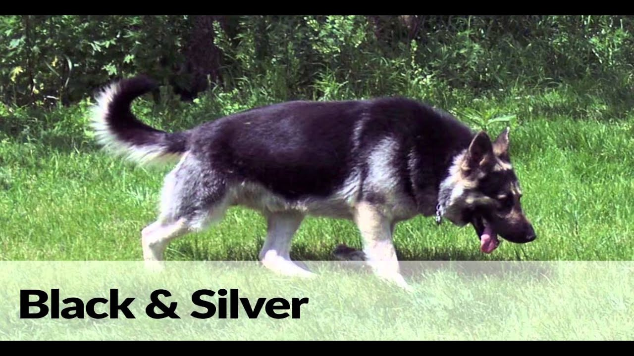 German shepherd dog colors and coats - YouTube