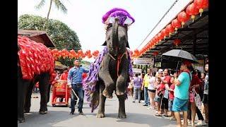 เริ่มแล้ว! ช้างแสนรู้สวนนงนุชพัทยา เชิดสิงโตรับเทศกาลตรุษจีนยิ่งใหญ่