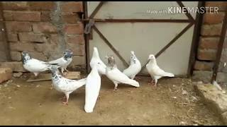 high flying pigeons kabutar bazi best in pakistan