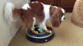 ジェイ君、自動掃除機の上に乗って遊んでます。空飛ぶ円盤に乗ったみた...