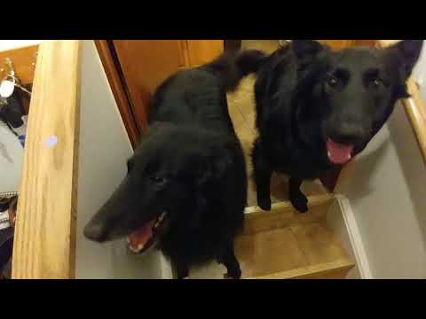 Hilarious dogs going up and down the stairs.