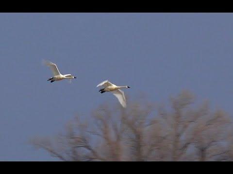 Richvale Swans