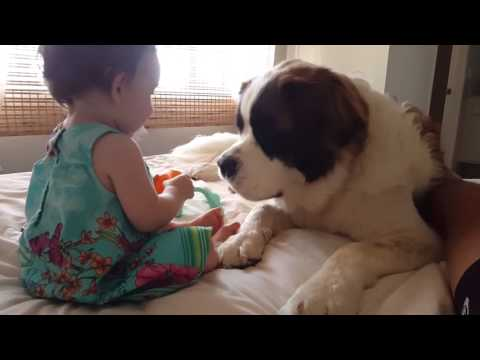 St Bernard and baby play