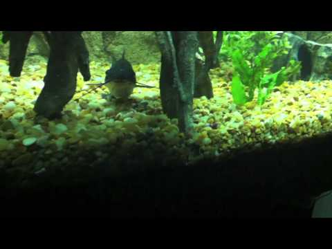 Video Channel catfish eating