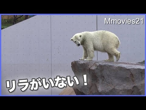 リラはどこ? 探し回るララ Polar Bear mom looks for her daughter