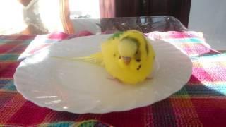 Как купается волнистый попугай