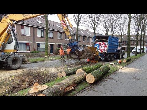 Bomenkap - Cutting Elm trees