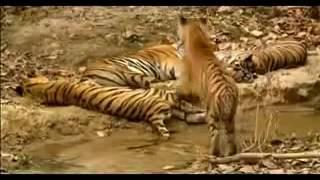 Людоед  -   Индийский тигр убийца